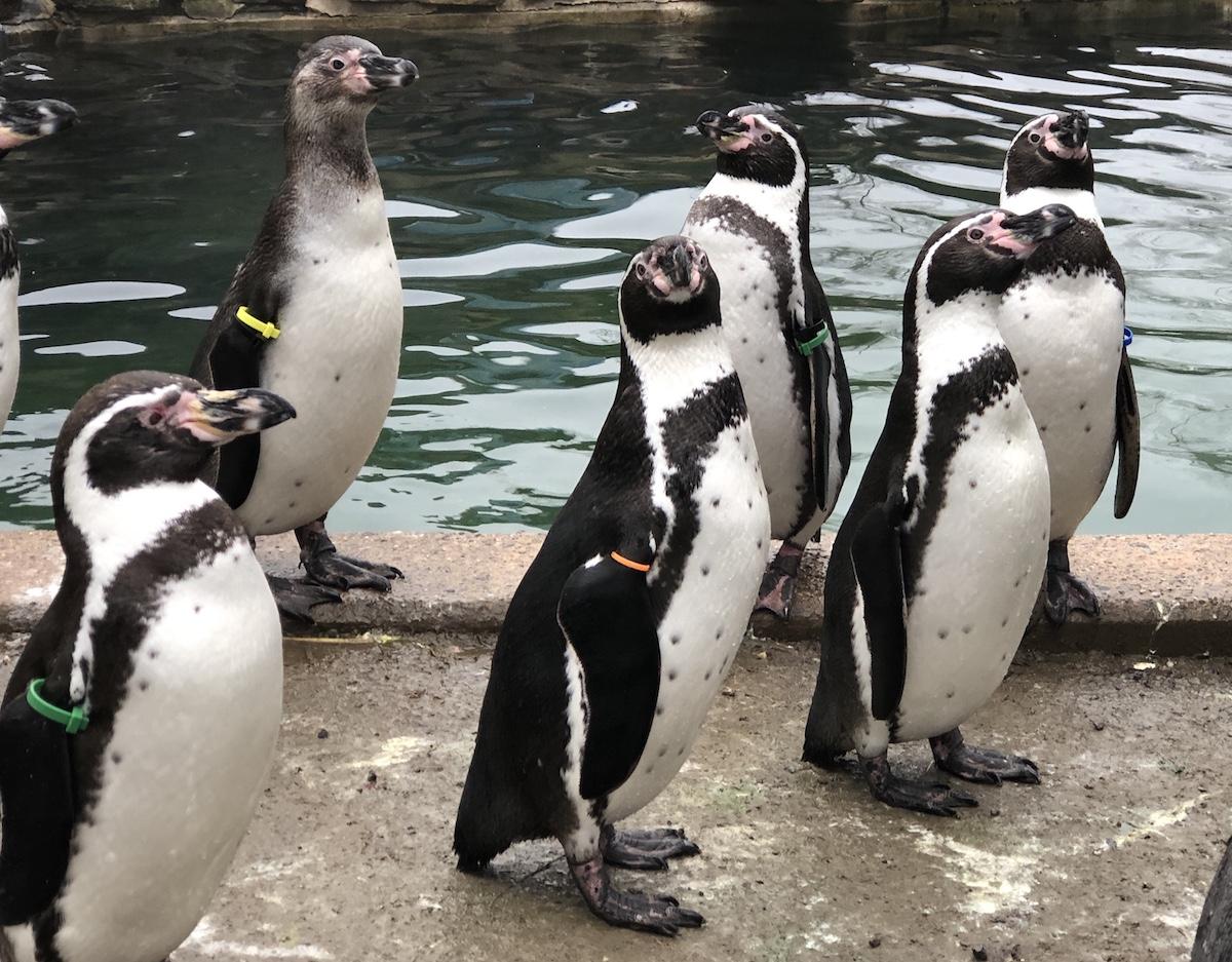 Pinguine im Osnabrücker Zoo